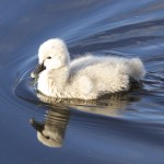 photo of a duck gliding on the water